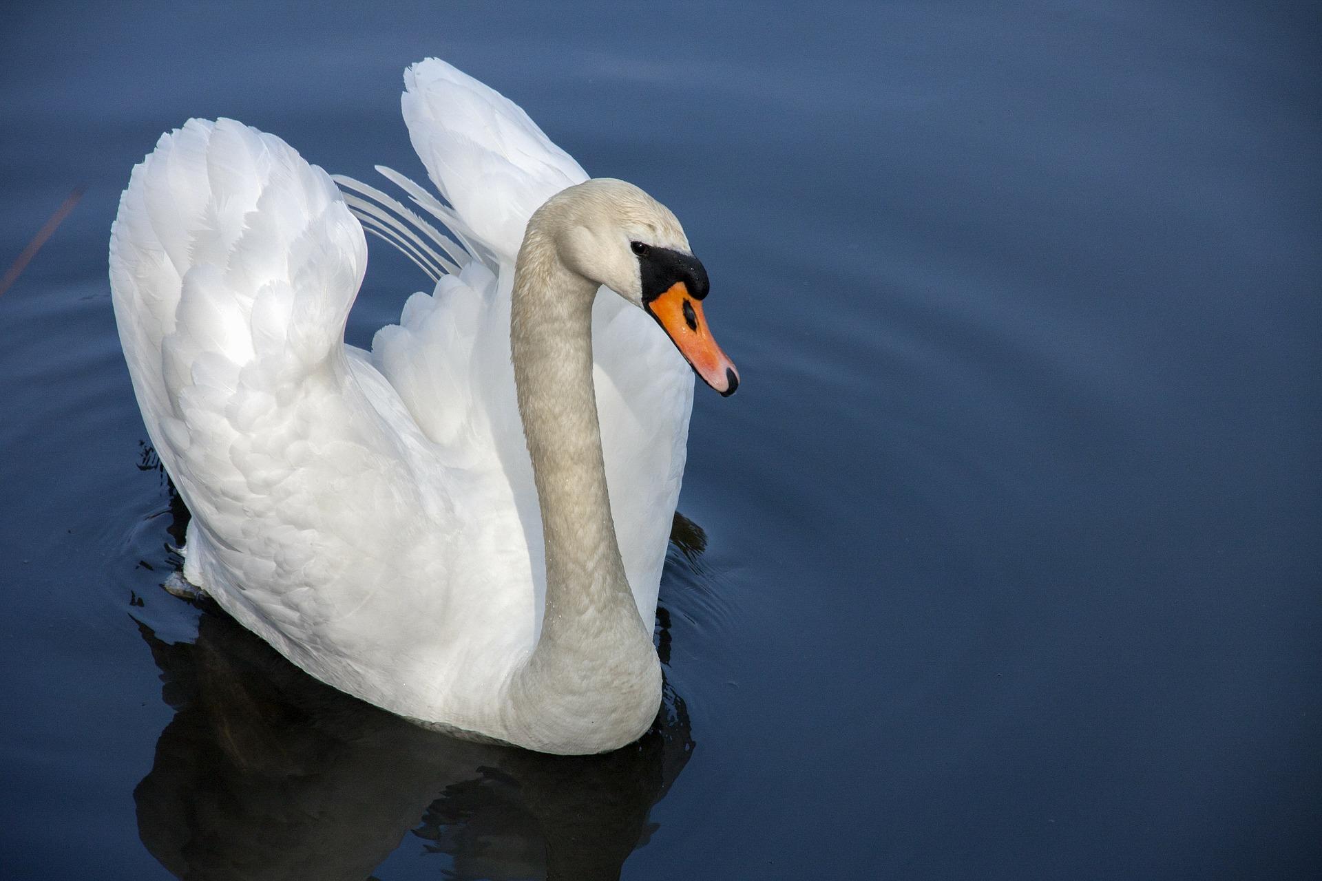 swan-319379_1920