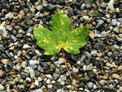 На 3 години: От какво дърво е това листо?