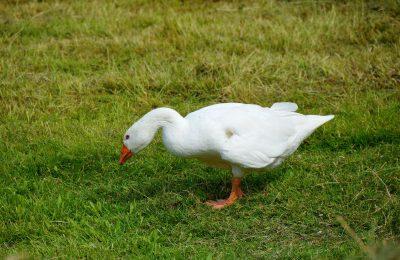 Как да играем с тази приказка: Златната гъска