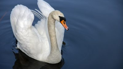 Как да играем с тази приказка: Дивите лебеди